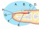 Як подовжити нігтьове ложе: діючі способи, особливості росту і будови нігтів, регулярність процедур по догляду за нігтями дому і в салоні